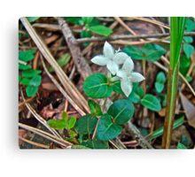 Partridge Berry Flower - Mitchella repens Canvas Print