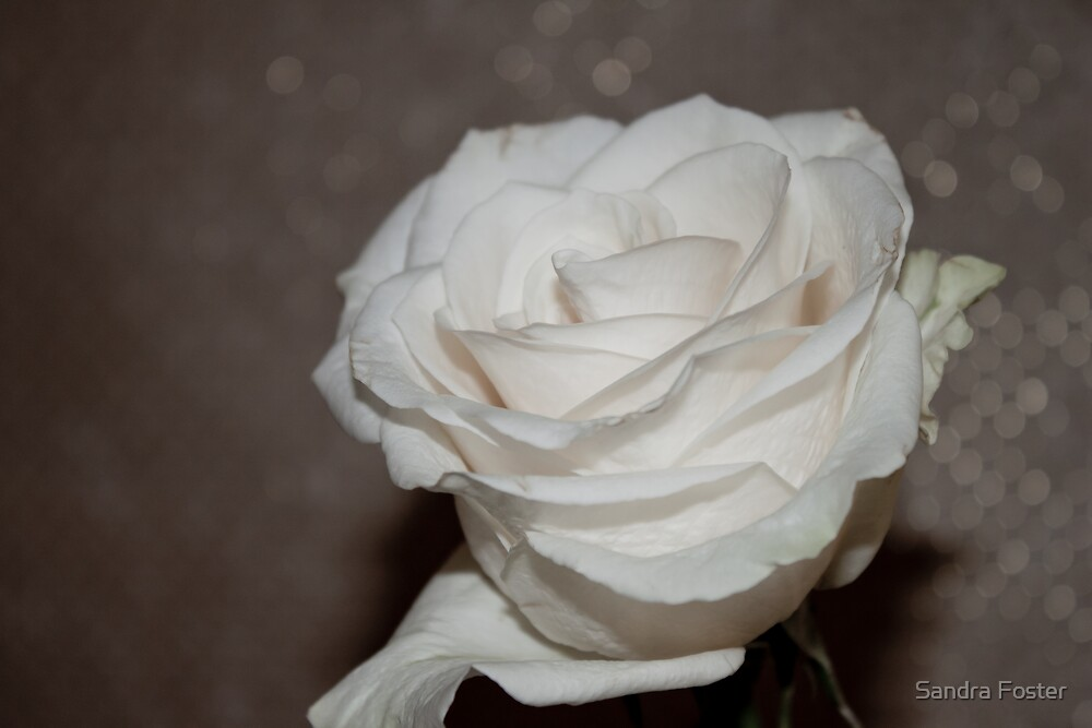 Purity In A White Rose by Sandra Foster