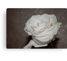 Purity In A White Rose Canvas Print