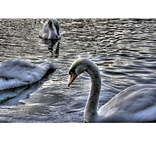 Swans HDR Photographic Print