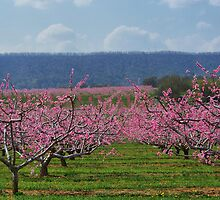 Apple Blossoms by James Brotherton