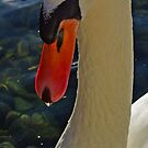 Swan by Rich Summers