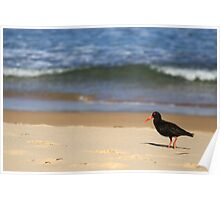 Sooty Oystercatcher at Pebbly Beach Poster
