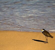 Plover at Pebbly Beach by Darren Stones