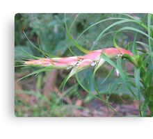 The Raw Prawn Canvas Print