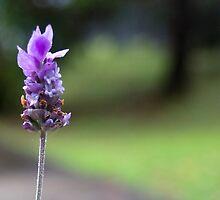 Lavender Daze by Jennifer Saville