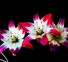 Pink/White Asiatic Lilies by EBArt