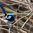 Superb Blue Wren by John Sharp