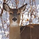 """Doe A Deer . . . A Female Deer"" by lorilee"