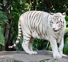 White tiger by Coloursofnature