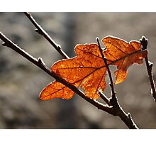 Frosted Leaf Photographic Print