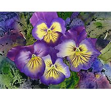 Busy Pansies Photographic Print