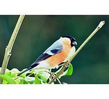 Male Bullfinch Photographic Print