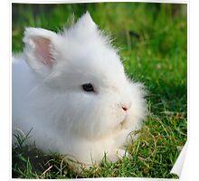 Angora Rabbit Poster