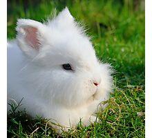 Angora Rabbit Photographic Print