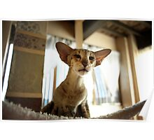 oriental shorthair cat Poster