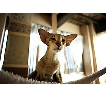oriental shorthair cat Photographic Print