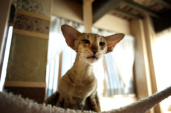 oriental shorthair cat by annapozzi