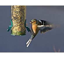 Chaffinch In Flight.. Photographic Print