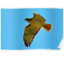Flying High - Red Tail Hawk Poster