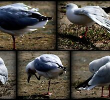 SEAGULL ANTICS by myraj