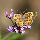 Butterfly on Verbena by Robert E. Alter / Reflections of Infinity, LLC