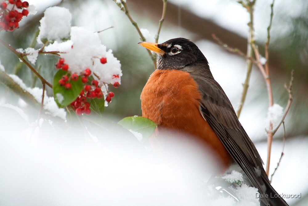 A Robin and Her Snowy Berries  by Dale Lockwood