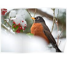 A Robin and Her Snowy Berries  Poster