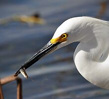 Snowy Egret eating a small fish by venny