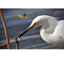 Snowy Egret eating a small fish Photographic Print