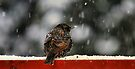 Snowy Starling by Jean Poulton