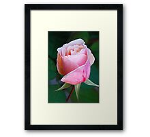 California Rose 7 Framed Print