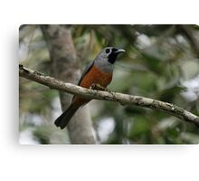 Black-faced Monarch Canvas Print