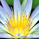 Water Lily by Bill  Robinson