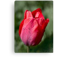 First tulip of the season Canvas Print