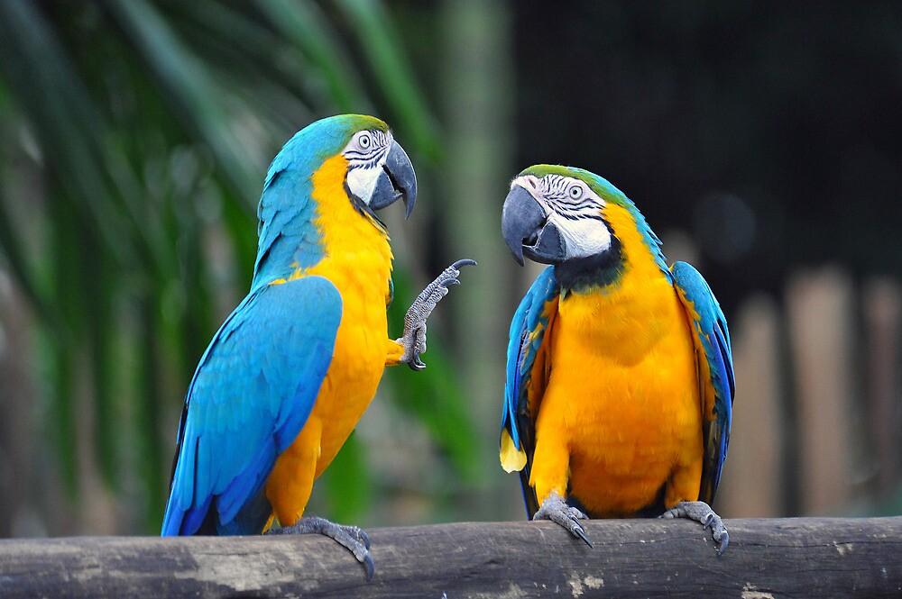 Blue & Yellow Macaws - Singapore (4) by Ralph de Zilva