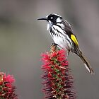 New Holland Honeyeater by John Sharp