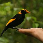 A Regent Bowerbird in the hand is worth two or more photos by Michael Matthews