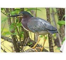 Green Backed Heron With Breeding Plumage Poster