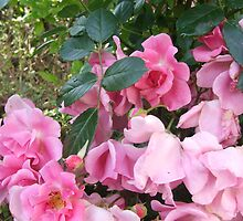 Pink climbing roses by CarmenD