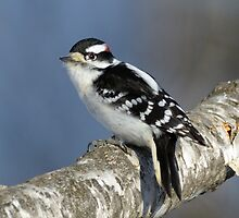 Downy Woodpecker - Boybird by Heather Pickard