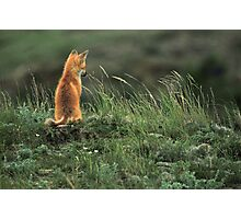 Alone but not Lonely, Fox photo by Donna Ridgway Photographic Print