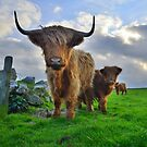 Cornwall: Heiland Coo&#x27;s on the Cornish Coast by Rob Parsons