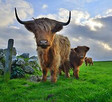 Cornwall: Heiland Coo's on the Cornish Coast by Rob Parsons