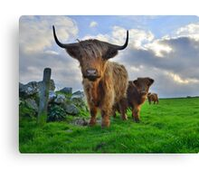 Cornwall: Heiland Coo's on the Cornish Coast Canvas Print