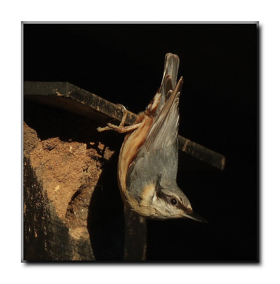 Nesting Nuthatch by Rivendell7