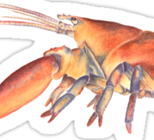 Northern Lobster (Homarus americanus) Sticker
