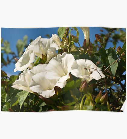 Plant, Wild flower, Hedge bind weed, White Flowers Poster