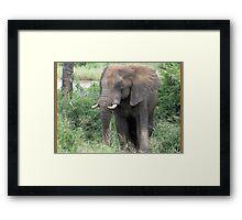 The Elephant {Loxodonta Africana} Framed Print