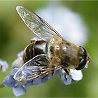 Hover fly on forget me nots by Rivendell7